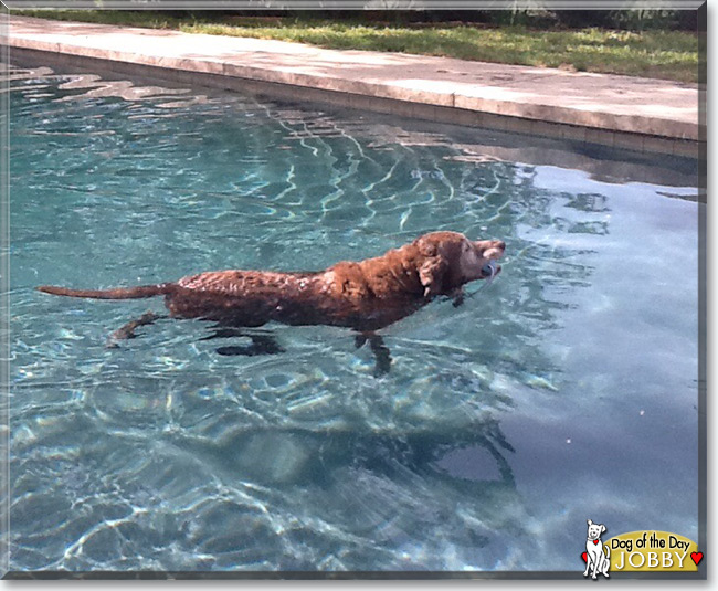Jobby the Chesapeake Bay Retriever, the Dog of the Day