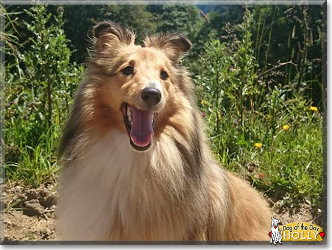 Holly the Shetland Sheepdog, the Dog of the Day