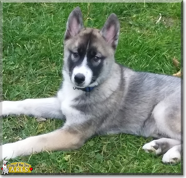 Ares the Siberian Husky, the Dog of the Day