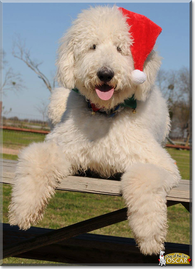 Oscar the Komondor the Dog of the Day