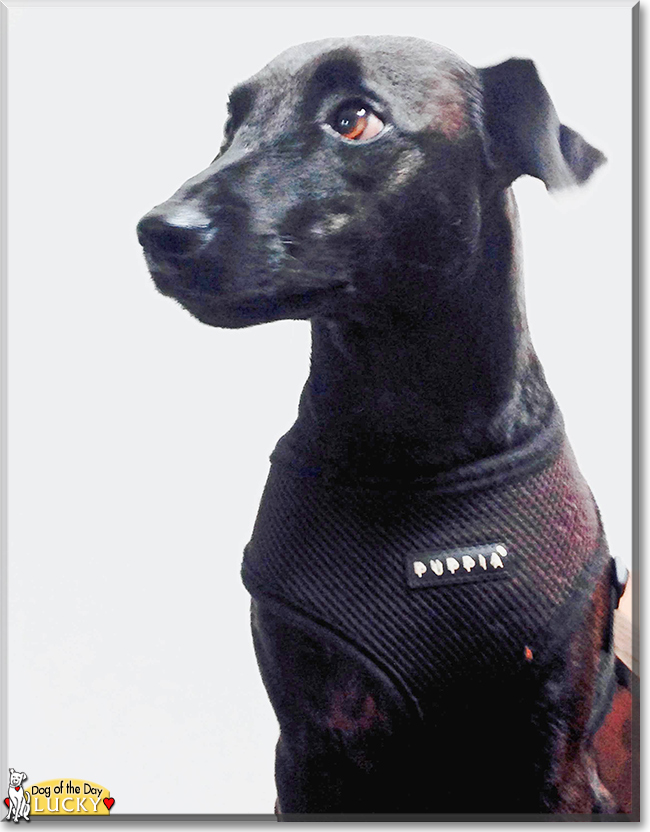 Lucky the Patterdale Terrier, the Dog of the Day